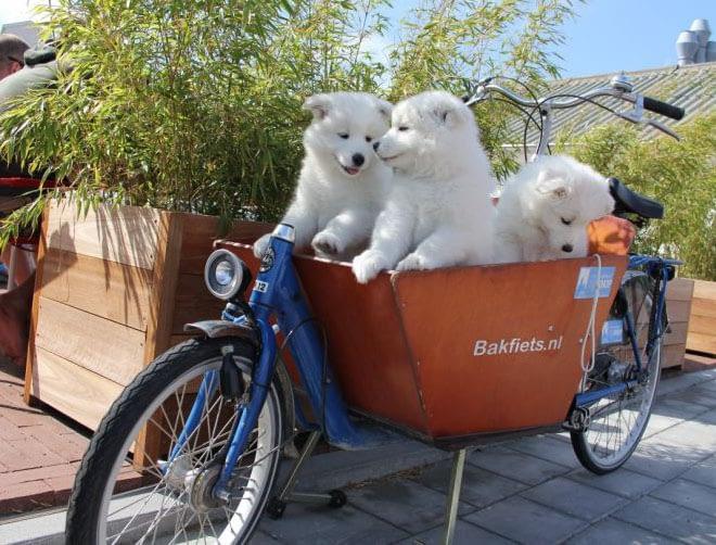 Gulliga luddiga lådcykelhundar BAKFIETS.NL