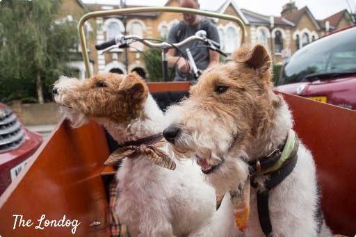 Två hundar i lådcykelreklam med Bakfiets.nl